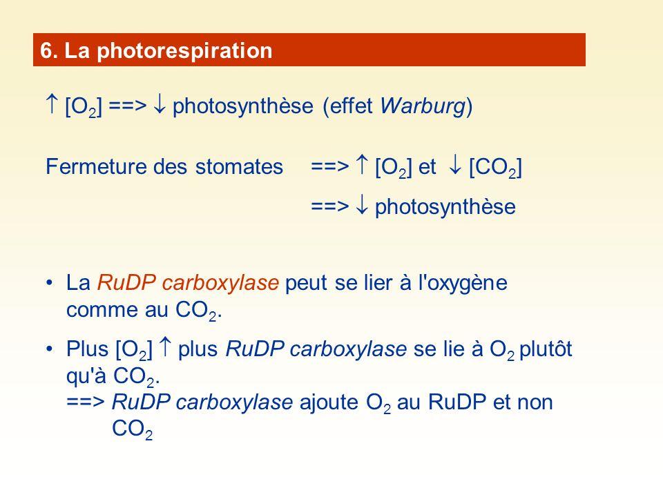 6. La photorespiration  [O2] ==>  photosynthèse (effet Warburg) Fermeture des stomates ==>  [O2] et  [CO2]